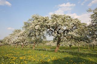 tree, baum, scattered fruit trees, streuobstwiese, burgweiler pfrunger ried, baden wuerttemberg, baden-wuerttemberg, germany, deutschland, spring tide, fruehling, spring fever, fruehlingsgefuehle,