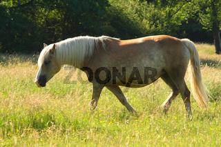 Haflinger Pferde, Haflinger Horses