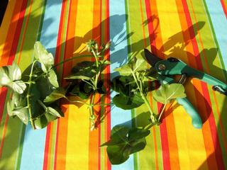 Stecklingsschnitt bei Pelargonium