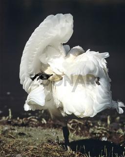 Trumpeter Swan, Yellowstone, USA, trompeterschwan, cygnus buccinator, trumpeter swan