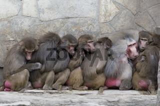 Paviane   Baboons (Papio hamadryas)