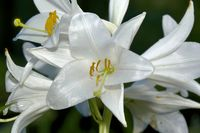 madonna lily