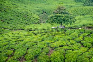 Tree in Tea Plantation in Cameron Highlands
