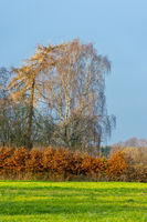 A birch behind a hedge in the sunshine in front of blue sky