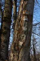 tree for woodpeckers; woodpecker tree