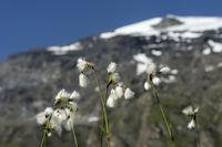 Cottongras (Eriophorum sp.), Sedges family Cyperaceae), Val de Bagnes, Valais, Switzerland