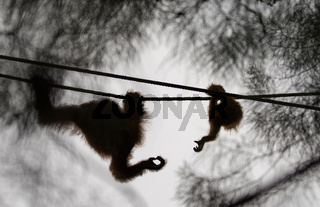 Orangutan mother and baby reaching for each others hands