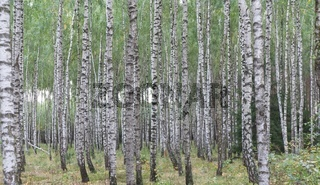 Birch trees in autumnal forest