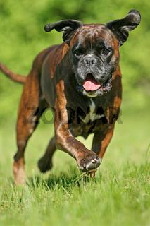 rennender Boxer