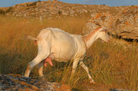 young white goat with horns standing on the rock in dry grass side view