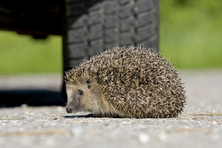 Igel vor Autoreifen, hedgehog car tire