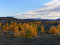 Autumn landscape with larches near lake myvatn in Iceland