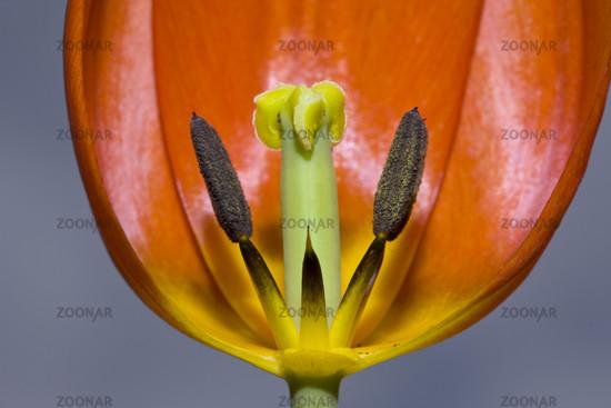 Bluetenstand einer roten Tulpe
