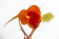 Red blossom of a nasturtium (Tropaeolum majus).