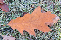 oak leaf on frozen meadow