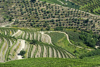 Vineyard terraces and olive trees in the Douro region, Pinhao, Portugal