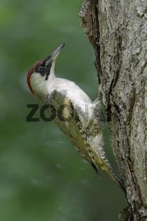 kletternd am Baum... Grünspecht *Picus viridis*