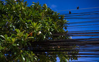 Electrical cables and wires with two sitting birds and green tree leaves