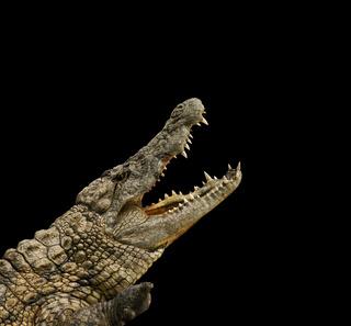 gefährlicher Alligator macht sein Maul auf