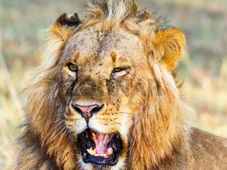 Close up of a lion male with open mouth
