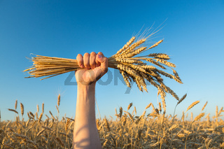 wheat field . harvesting.  harvest in the . ripe