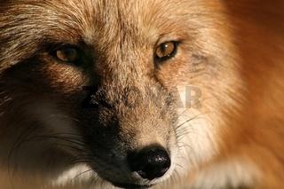 Gesicht des Rotfuchses