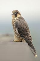 on top of a building... Peregrine Falcon *Falco peregrinus*