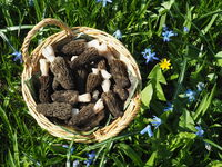 Basket with fresh black morels in meadow in spring