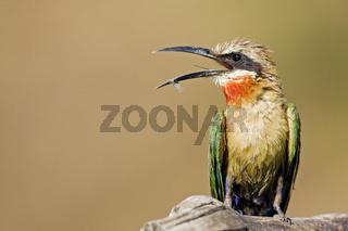 Weissstirn Spint, Bienenfresser (Merops bullockoides) am Chobe, Botsuana, Afrika, White-fronted Bee-eater, Botswana, Africa