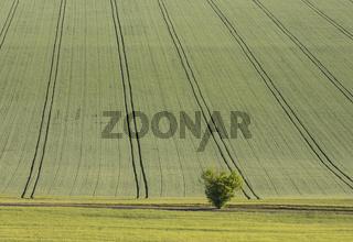 Grain field and Tree