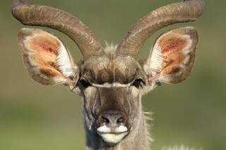 Greater Kudu, Addo Elephant National Park