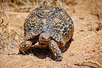 leopard tortoise, south africa, wildlife