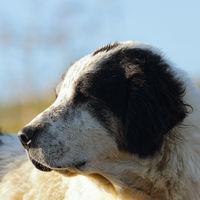 portrait of motley romanian shepherd dog