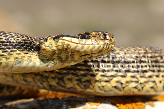portrait of blotched snake