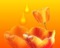 Tulip blooming season in the Netherlands, Europe