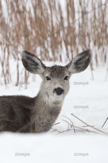 looks funny... Mule deer *Odocoileus hemionus*
