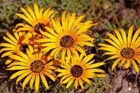 Blütezeit im West Coast Nationalpark, Postberg Sektion, Südafrika, flower saison at West Coast National Park, Postberg sector, South Africa
