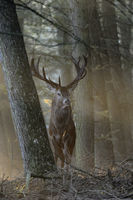 majestic... Red Deer *Cervus elaphus*, powerful stag stands between trees in fabulous light