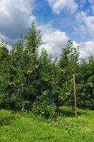 Apelbäume