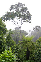 Gallery forest in the Amazon rainforest, Canande River Reserve, Choco forest, Ecuador