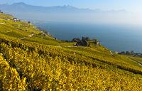 Vineyards in golden autumn foliage rising above Lake Geneva, Rivaz, Lavaux,Switzerland