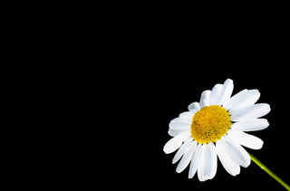 Beautiful daisy flower isolated in bottom right corner, against black with copy space