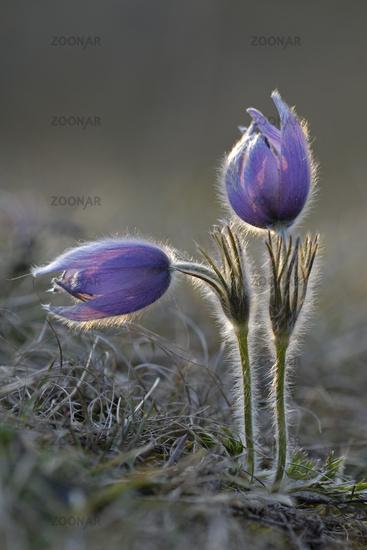 (common) pasque flower [Pulsatilla vulgaris, syn.: Anemone pulsatilla], Germany