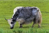 Graues Haus-Yak (Bos grunniens) mit Hörnern auf der Weide