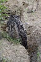 quiet watching... Eurasian Eagle Owl *Bubo bubo*