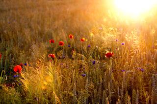 Wilder Mohn am Feldrand / Wild Poppy Flowers