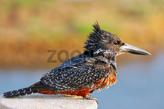 Riesenfischer, Kruger Nationalpark Südafrika; giant kingfisher in Kruger National Park, South Africa