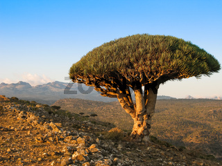 Dragon tree, endemic plant of Socotra island Yemen