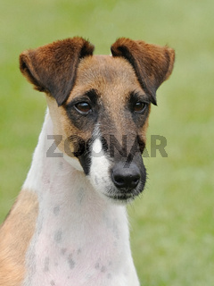 Typical Fox Terrier Smooth  in the garden
