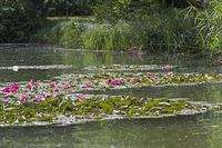 Flowering at the lake water pond